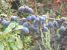 Blueberries at skipley farm