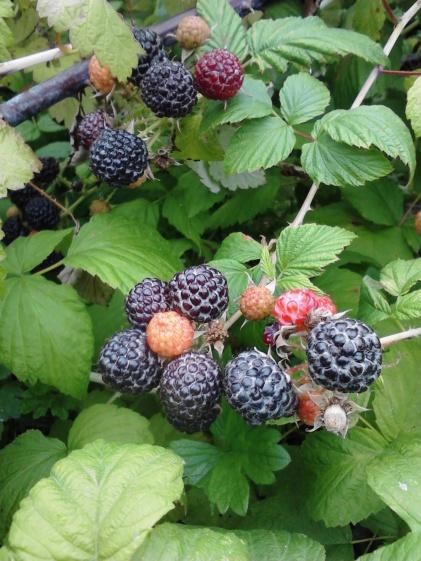 Black Raspberry (3)