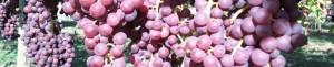 Juniper berries in snohomish