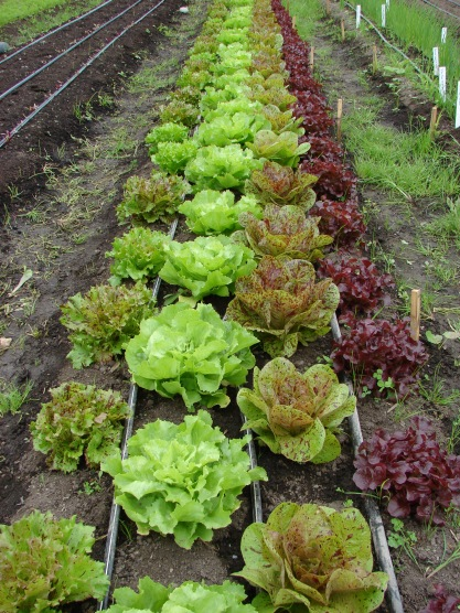 Greenhouse lettuce at skipley farm