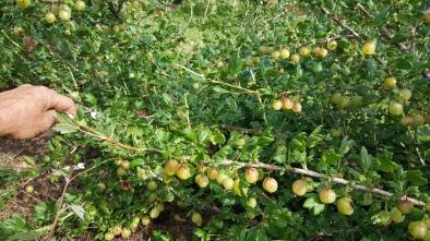 Invicta Gooseberry