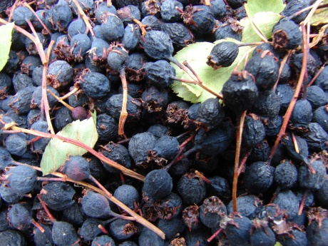 Dry serviceberries at skipley farm