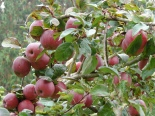 Pick your own Apples or Blueberries