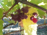 Grapes in Snohomish Washington