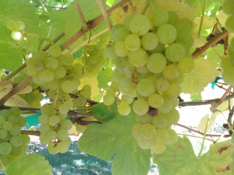 Green grapes at Skipley Farm