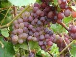 Grapes at Skipley Farm