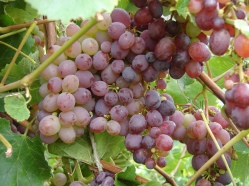 Grapes at Skipley Farm