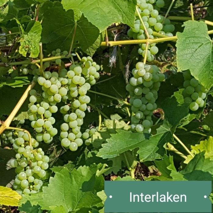 Grapes, interlaken, plants, skipley farm